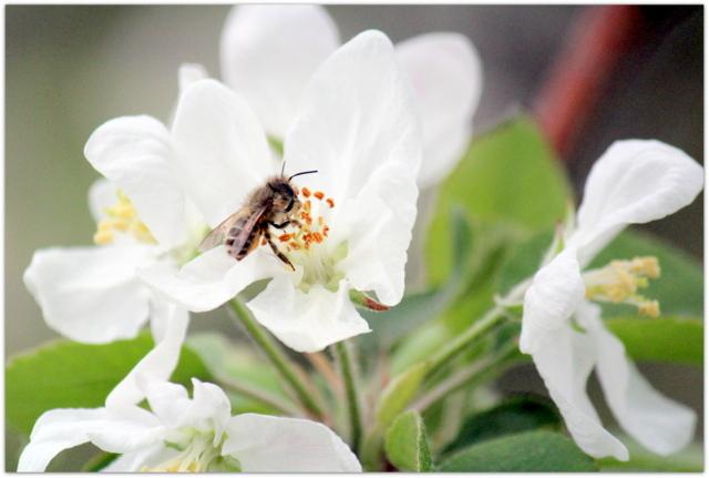 青森県 弘前市 りんご公園 りんご 花 写真 ふじ