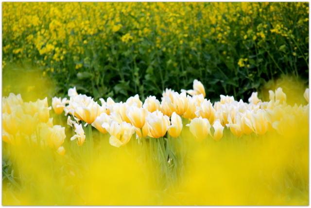 青森県 弘前大学 藤崎農場 チューリップ 写真