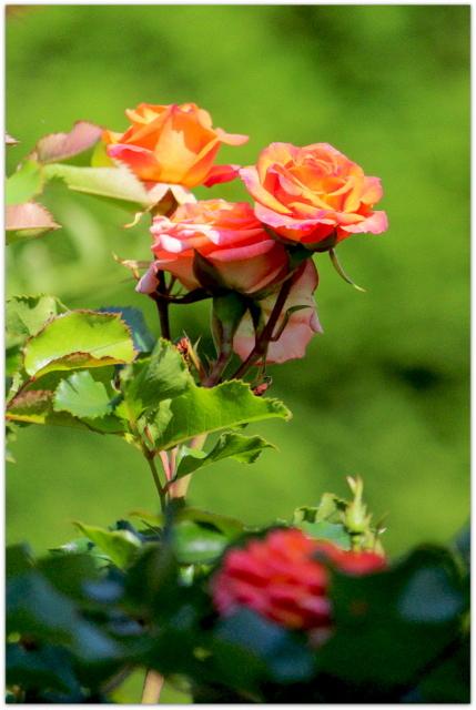 庭の花 バラ 写真 薔薇 花 ばら