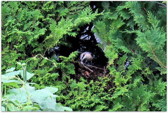 青森県 弘前市 野鳥 鳥 バードウォッチング 写真 モズ