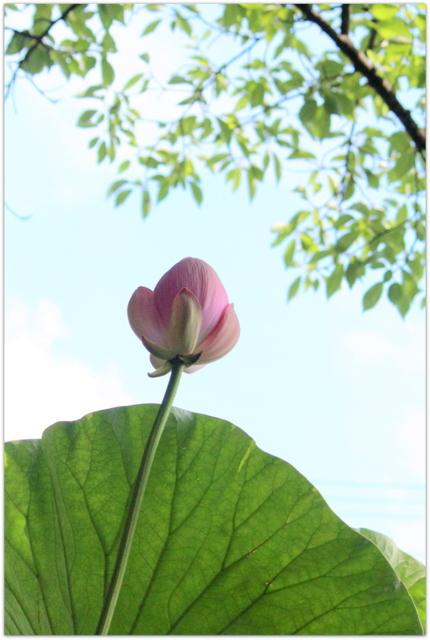 写真 青森県 弘前市 観光 曹洞宗 津軽山 革秀寺 寺 蓮池 蓮の花 白蓮