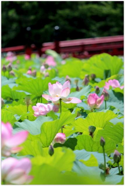 青森県 平川市 猿賀神社 猿賀公園 蓮池 蓮の花 観光 写真 アオイトトンボ