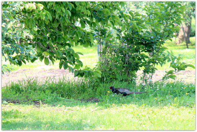 野鳥 鳥 写真 雉 きじ キジ