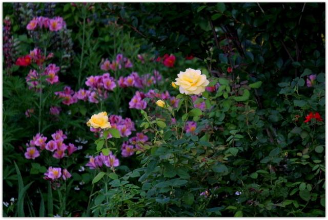 花 写真 薔薇 ばら バラ