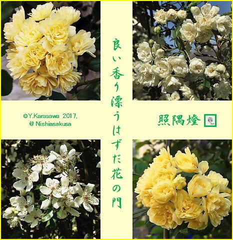 170510木香薔薇