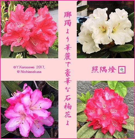 170511石楠花