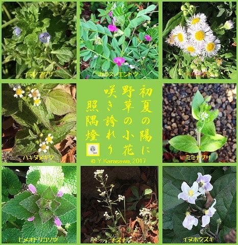 170514野草の花々