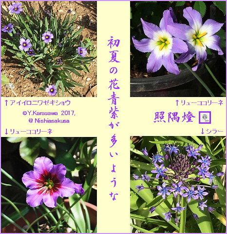 170612青紫の花々