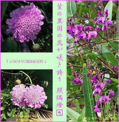 170614外来の紫の花