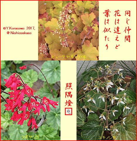 170617ユキノシタ科3種