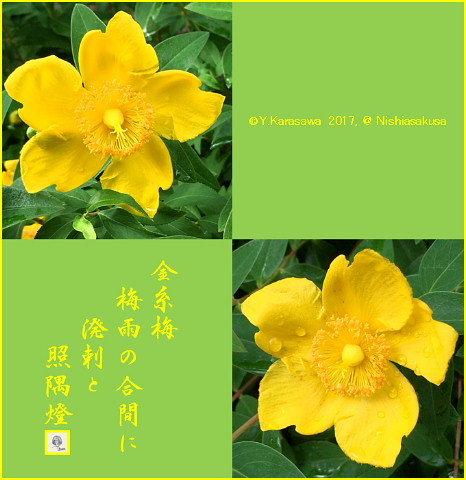 170701金糸梅