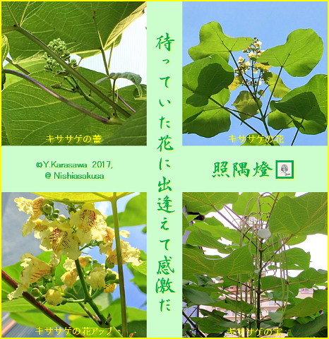 170703木大角豆の花