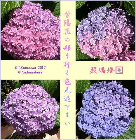 170712紫陽花