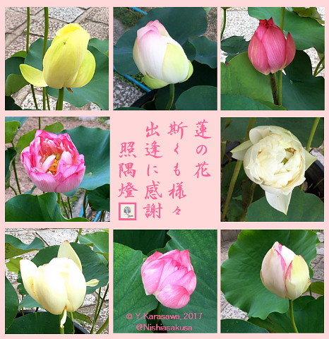 1707015蓮の花