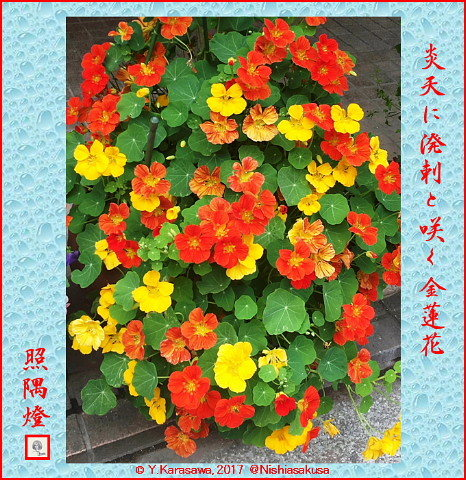 170716金蓮花