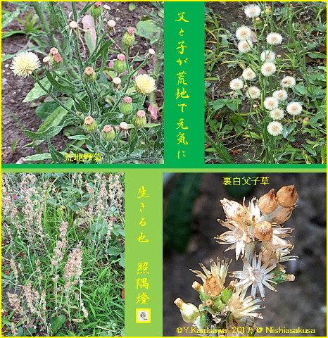 170720裏白父子草と荒地野菊