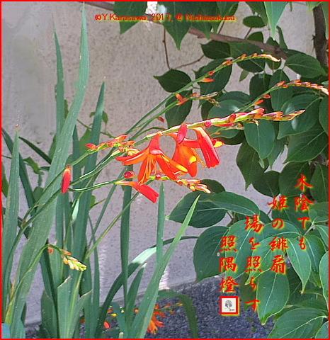 170817姫檜扇水仙