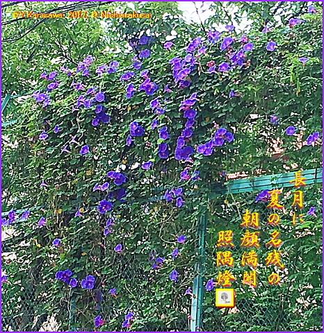 170901朝顔青紫フェンス