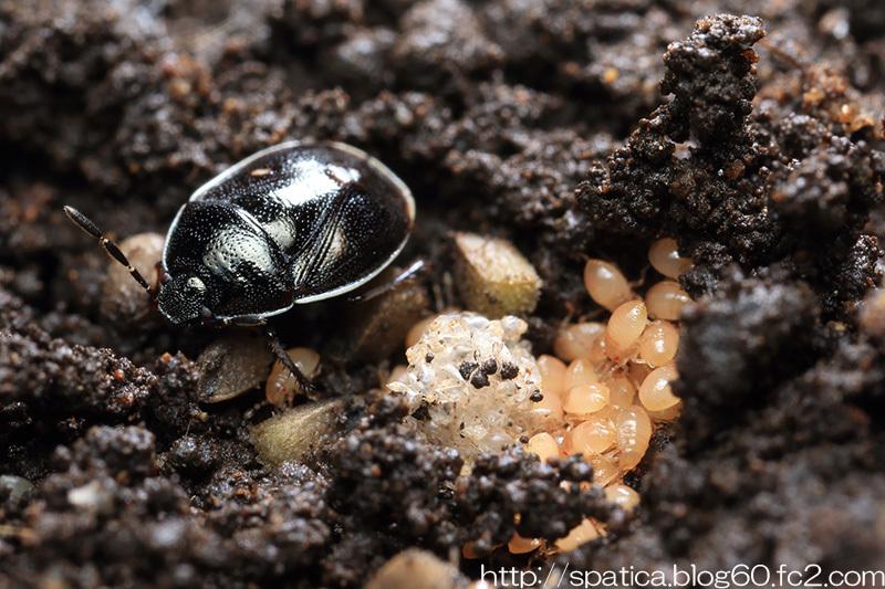 ミツボシツチカメムシ孵化後