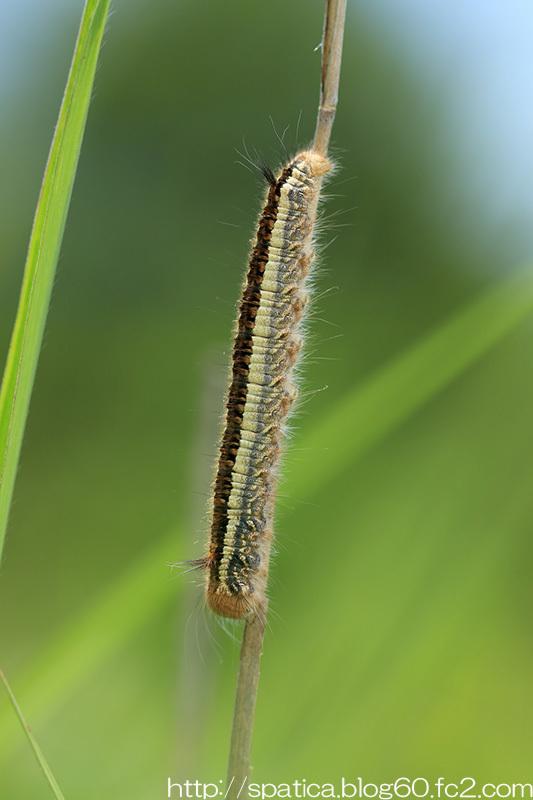 タケカレハの幼虫