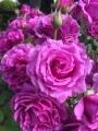 SPAZIOのバラ№8