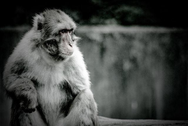 猿 猿まね