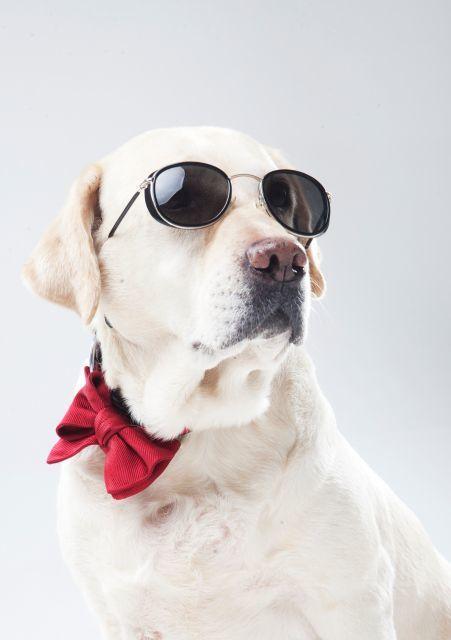 サングラスの 犬