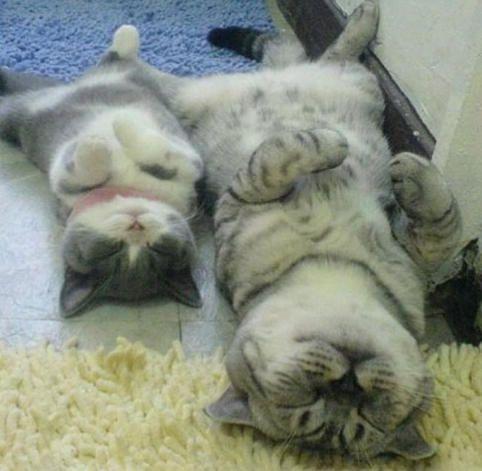 猫の親子 食後の睡眠