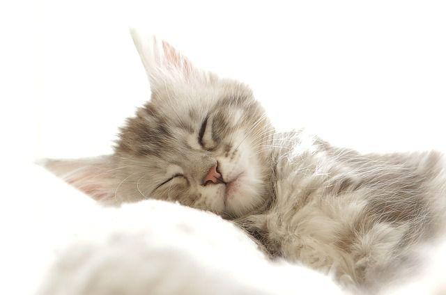 眠る 子猫