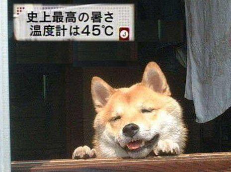 猛暑日 うだる犬