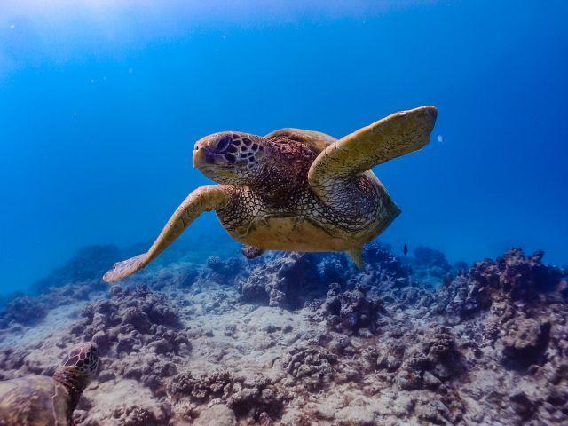 海亀 ウミiガメ