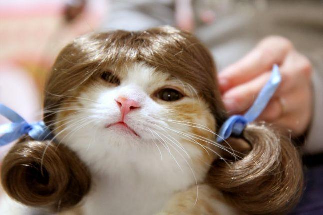 かつらを 被った 美人猫