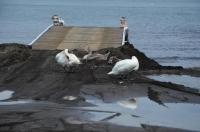 山中湖の鴨170824