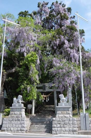 羽田春日神社の大フジ