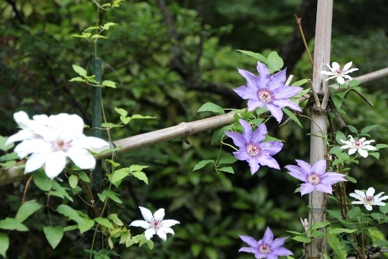 薄紫のカザグルマ