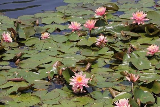 やすらぎの池のスイレン