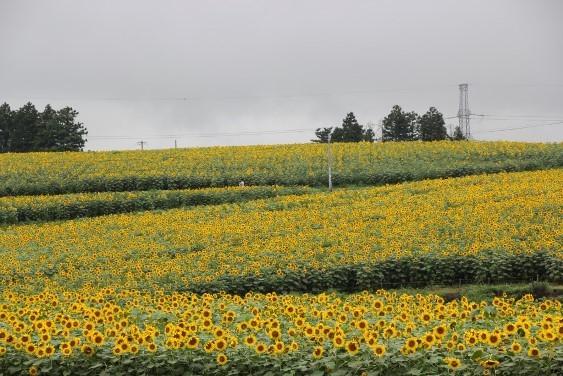 黄色に染まるひまわりの丘