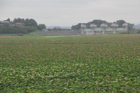 長沼のハスと長沼ダム