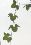 20170728朝顔の葉