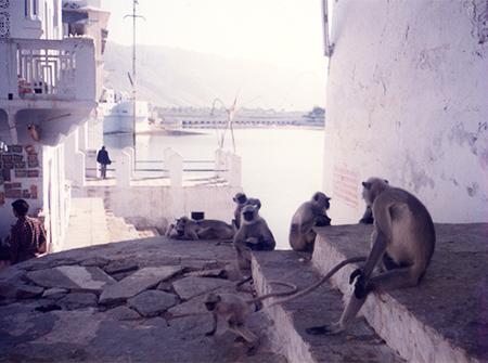 プシュカールの猿