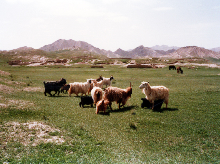 チベット犬と羊