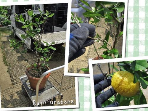 レモンの木移動~♪