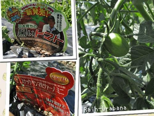 トマトも生り始めました♪