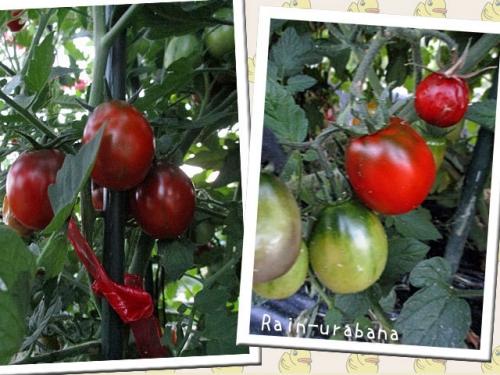 黒いトマトも順調♪