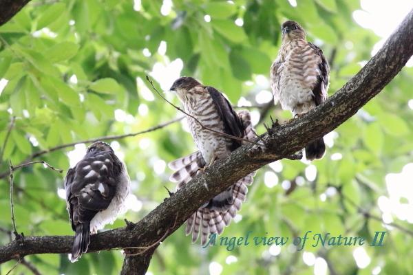 ツミ幼鳥1707024597①