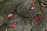 1.芝公園:もみじ谷:岩と落葉-03D 1612q