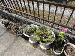 時期が終わった鉢植えの花20170801-3