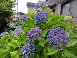 庭の紫陽花20170713