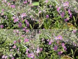 蜂が花を飛び回ってます20170610-1