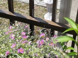蜂が花を飛び回ってます20170610-2